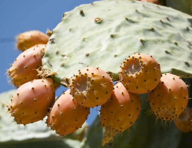 Sahara prickly pear